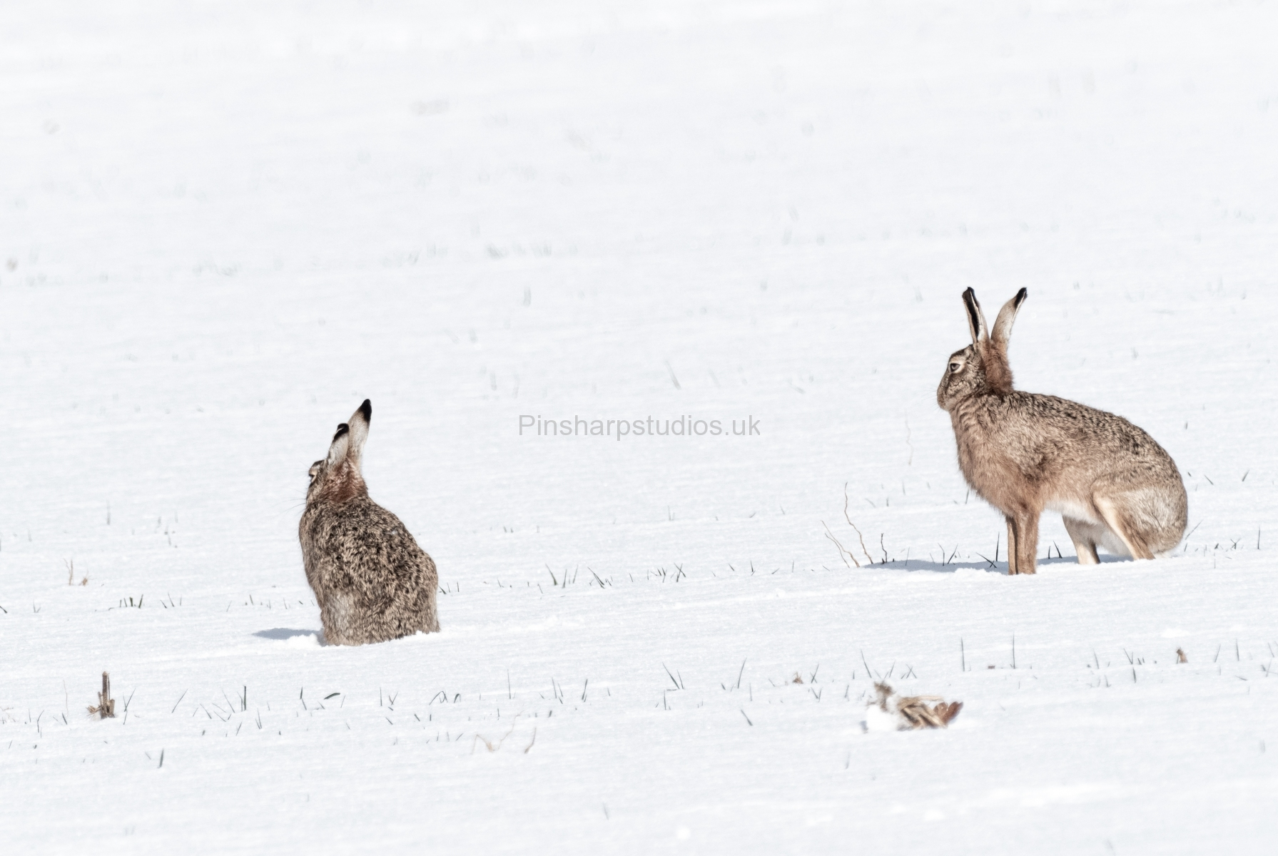Brown Hares in Snow
