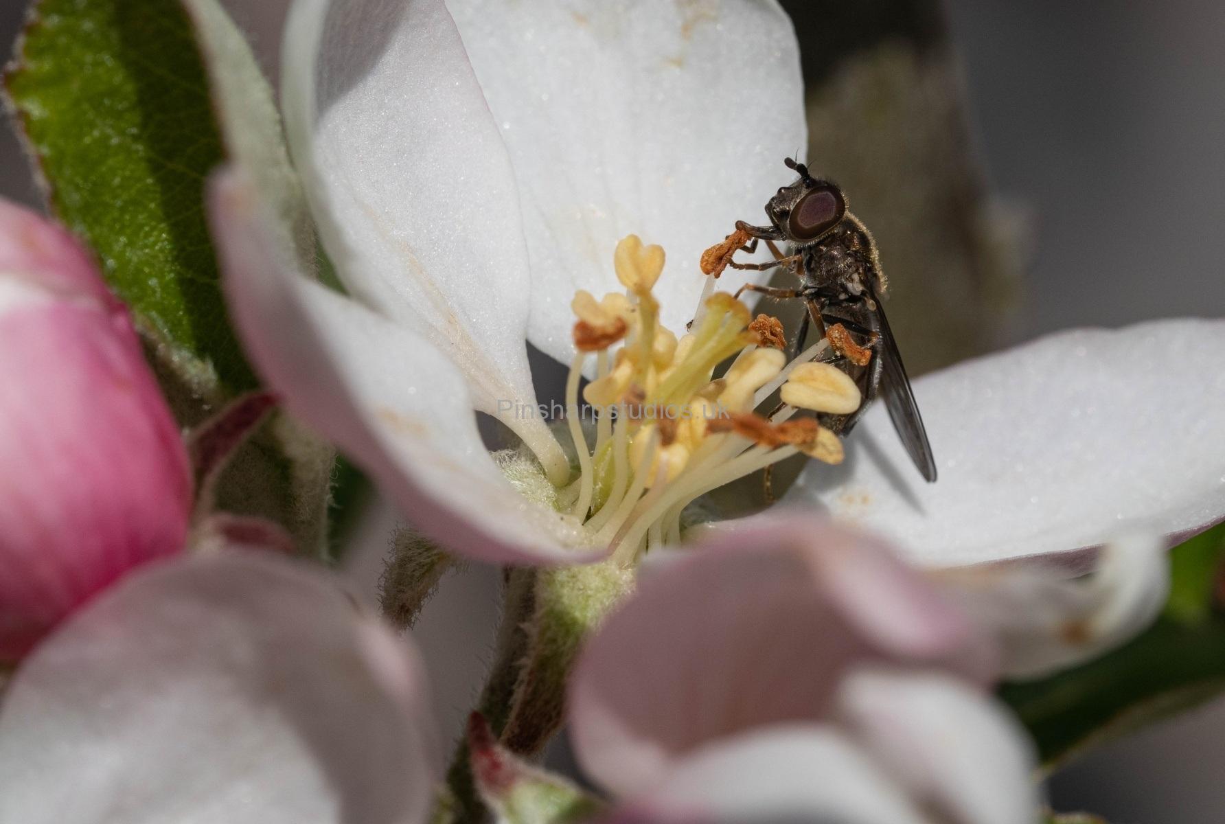 Bee on Apple Blossom