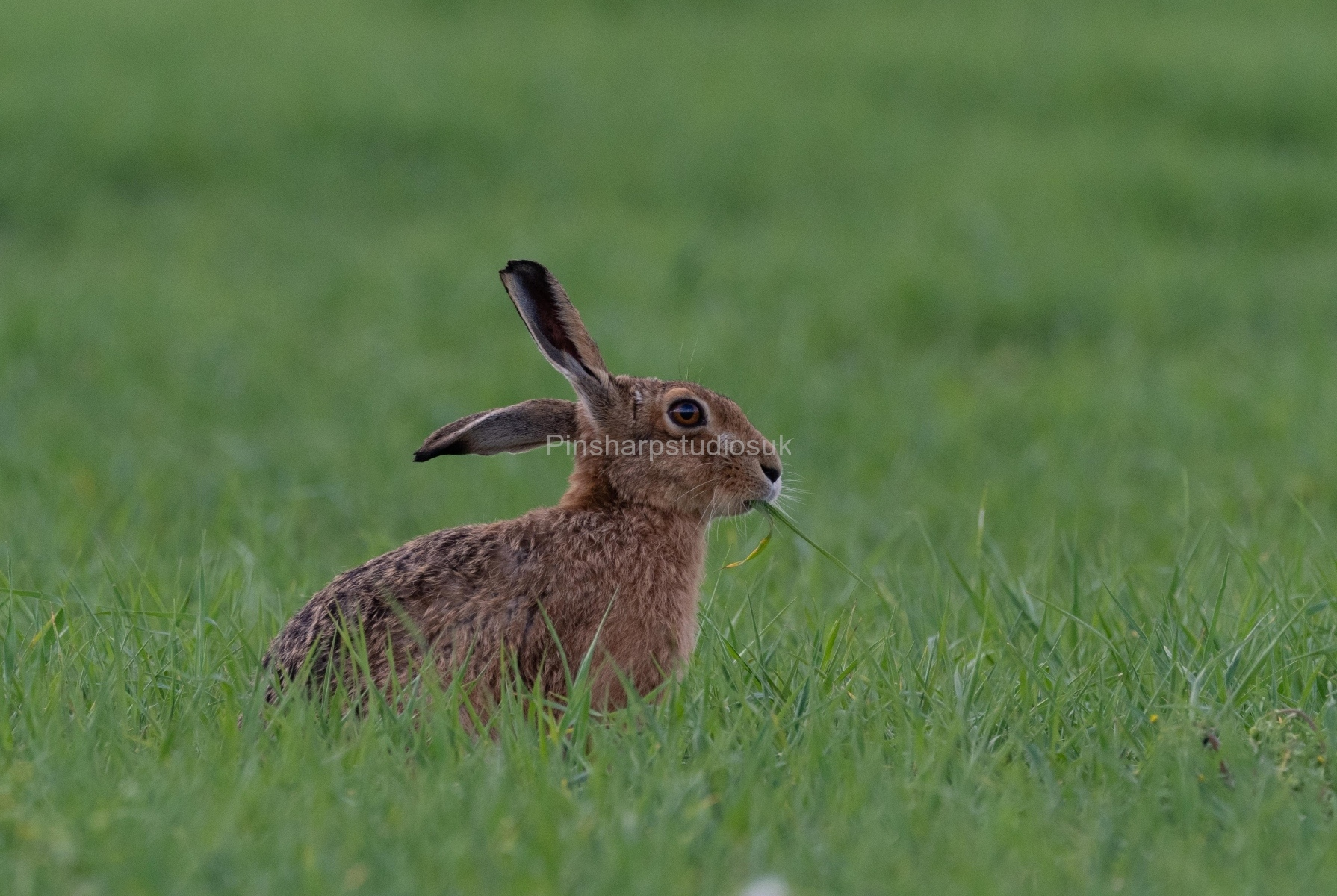 Brown Hare eating wheat shoots