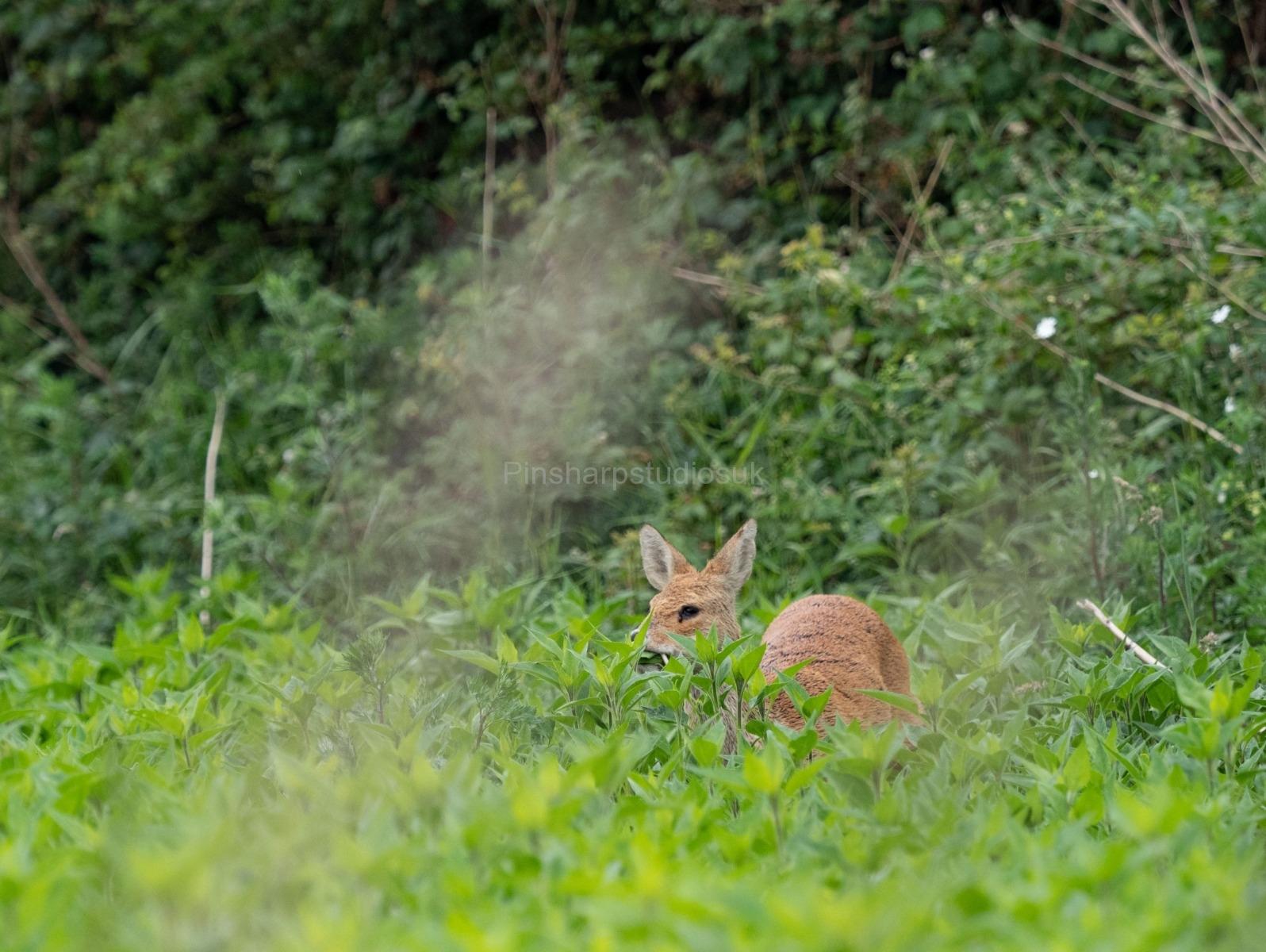 Munching Deer