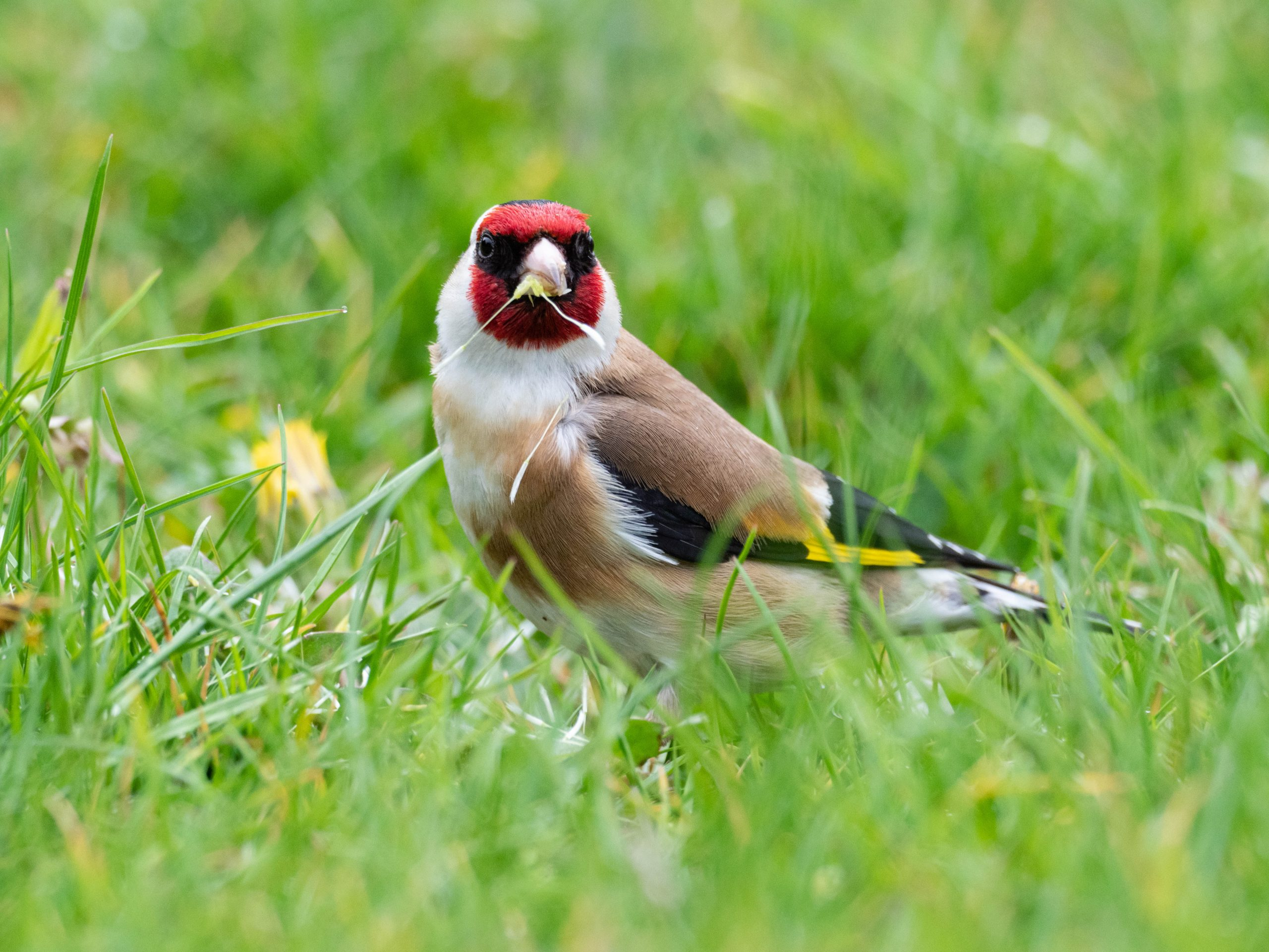 Goldfinch eating dandelion seeds