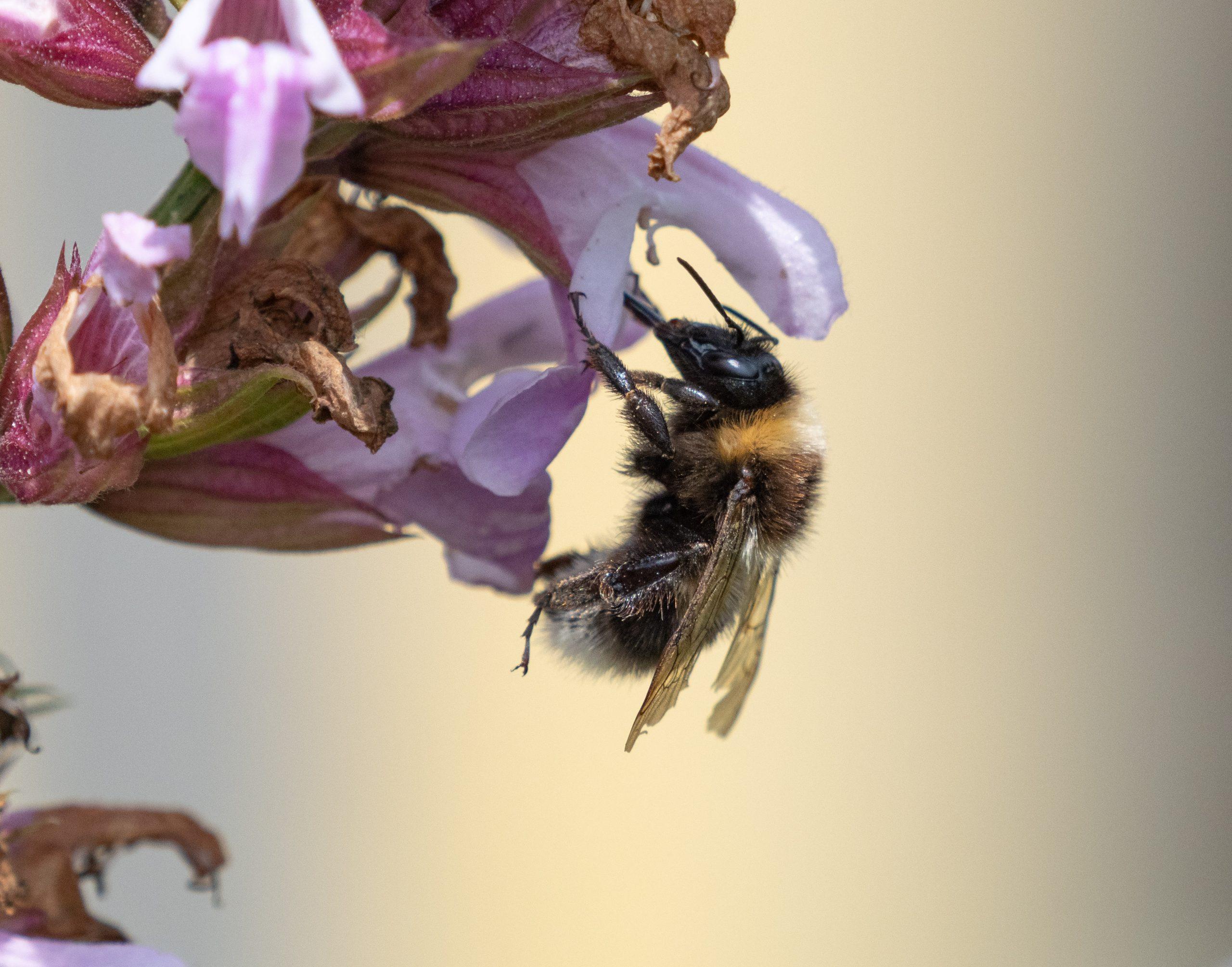 Bee on Sage Flower
