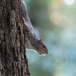 Grey Squirrel with Spotted Flycatcher eggs in mouth