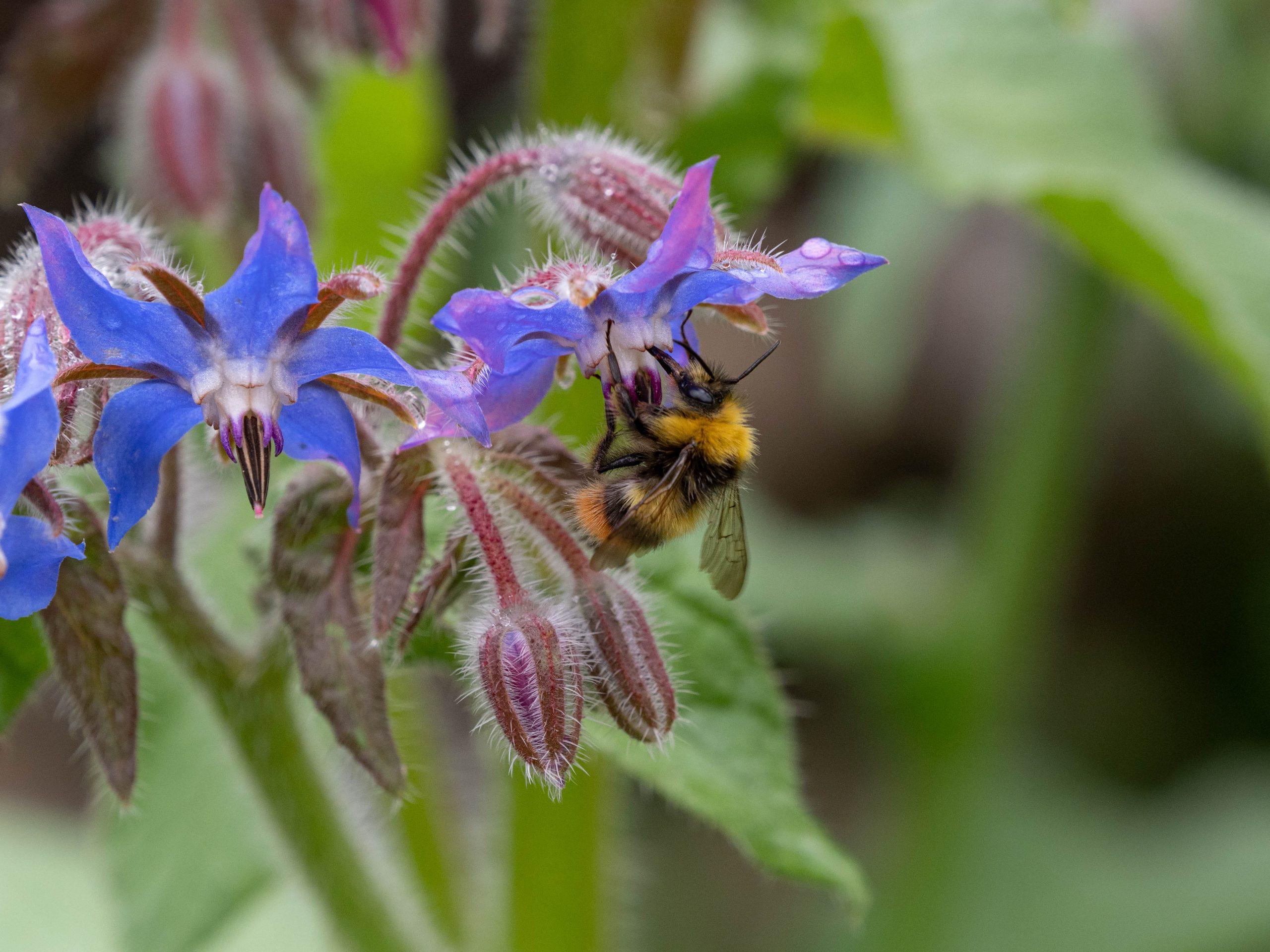 Bee foraging on borage flower