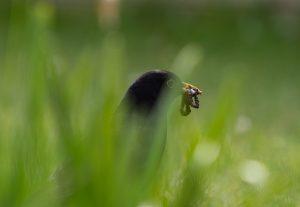 Blackbird with worms in beak